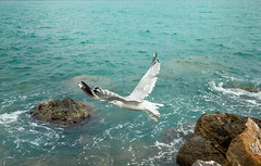 La Mouette. (Matthieu Robinet Photography) Tags: life voyage travel blue sea mer white color green bird nature closeup speed swim canon giant french eos hope fly moving big amazing wings movement flickr italia alone quiet peace photographer close natural time near seagull air liguria flight young fast move short change cinqueterre alive vol traveling animaux departure portovenere mouette discover ailes ligure espoir envol discovering mediterrane proche iitaly tumblr