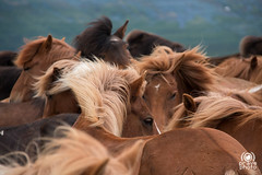 Eyes (andrea.prave) Tags: horses color colour eye nature colors beautiful beauty look animals les fur island caballos tiere iceland islandia eyes colore coat natura yeux occhi ojos cavalos animales augen animaux animais  pferde farbe colori herd glance geysir cavalli cavallo cor gullfoss animali couleur  pelo islande chevaux   islanda      hestar   suurland        eli