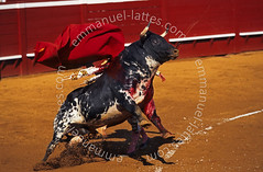Taureau de corrida. Passe  la muleta. (Emmanuel LATTES) Tags: red france animal french rouge fight blood spain sand risk traditional sable folklore bull arena spanish bullfighter peta third dodge horn tradition passe stab wound suffering taurus bos sang gaze bullfight spa glance corrida toro animale struggle muleta dribble bullfighting arne regard slobber souffrance domesticus thrust risky matador torero taureau bave landes slaver corne blessure montdemarsan enrage risking tauromachie banderilla maltraitance banderille