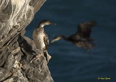 Marangone dal ciuffo (Luca Germi - bradipofotografo) Tags: birds nikon sigma natura uccelli imperia sigmas nikonsigma marangone nikond7100 sigma150600sport 150600s