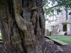Yew tree in the churchyard at St John the Baptist, Grendon Bishop, Herefordshire (pluralzed) Tags: church yew churchyard herefordshire yewtree churchofengland parishchurch stjohnthebaptist taxusbacata grendonbishop veteranyew bredenburywithgrendonbishopandwacton