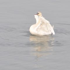 Zwanendans (Herman Verheij) Tags: swan zwaan