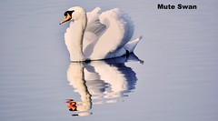 Swan - Refllection (grahamgathercole) Tags: winter light shadow summer sun white reflection water swan nikon norfolk sigma wave telephoto taylor gathercole 150500