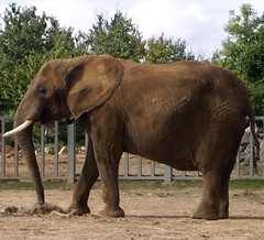 Photo of African Elephant, Colchester Zoo