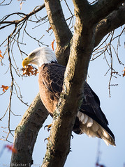 Eagles of Princeton Return - 9 (RGL_Photography) Tags: birds us newjersey unitedstates eagle wildlife baldeagle godblessamerica ornithology birdwatching mothernature raptors haliaeetusleucocephalus birdsofprey mercercounty americanbaldeagle princetonuniversity carnegielake delawareandraritancanalstatepark lakecarnegie southbrunswicktownship nikond610 tamronsp150600mmf563divcusd