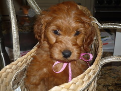 lola-is-going-to-the-the-prettiest-puppy-in-ny--shes-one-of-lucy-and-chewys-little-girls-_4525925828_o