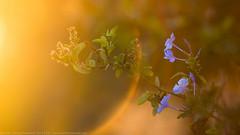 Plumbago (anoopchandranb) Tags: flowers light garden lensflare plumbago m42lens conejovalleybotanicgarden pentacon4200m42 sonya7r