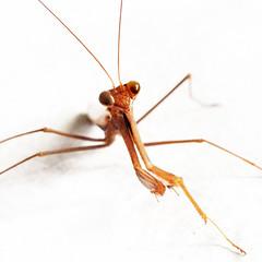 Eye to eye with praying mantis (VillaRhapsody) Tags: brown insect grasshopper prayingmantis