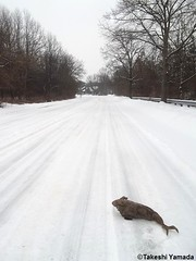 Dr. Takeshi Yamada and Seara (Coney Island sea rabbit) on the snow-covered ground on March 1, 2015. Jersey Devil Expedition. Snow Fairy Expedition. NJ. NY.  20150301 063=2020== (searabbits23) Tags: winter snow ny newyork sexy celebrity art hat fashion animal brooklyn painting asian coneyisland japanese star tv google king artist dragon god manhattan wildlife famous gothic goth performance pop taxidermy cnn tuxedo bikini portraiture tophat unitednations playboy entertainer takeshi samurai genius mermaid amc johnnydepp mardigras salvadordali unicorn billclinton billgates aol vangogh curiosities sideshow jeffkoons globalwarming takashimurakami pablopicasso steampunk yamada damienhirst cryptozoology freakshow barackobama polarbearclub seara immortalized takeshiyamada museumofworldwonders roguetaxidermy searabbit ladygaga climategate minnesotaassociationofroguetaxidermists