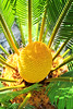 IMG_6588 (2) (Psychic Insights) Tags: summer plants green nature seeds cycads flwoers droughtresistant frosttolerant ancientplants utdoors