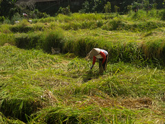 campos de arroz balineses (lauvelro) Tags: bali verde green vert farmer ricefields paysan agricultor camposdearroz champsderiz