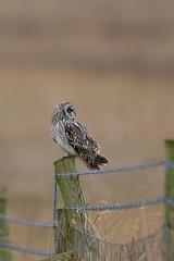 Short-eared owl (Andy Davis Photography) Tags: canon raptor owl stare perched shortearedowl asioflammeus