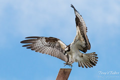Osprey landing. Longmont, Colorado.