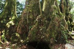 Antarctic Beech Trees (Robbie Guarino) Tags: trees landscape australia queensland beechtrees springbrooknationalpark