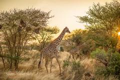Giraffe (Nigel Unsworth Studios) Tags: animals kenya giraffe