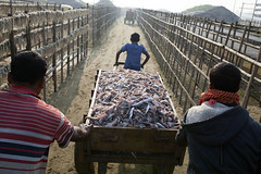 Dried fish village Bangladesh (auniket prantor) Tags: light sea fish man asian living fishing fisherman asia day village phone image outdoor indian south over business fisher huge editorial worker dried bazaar foreign economic talking visual issue bangladesh coxs journalist drying fis export regular earnings subcontinent 2016 zakir hossain chowdhury