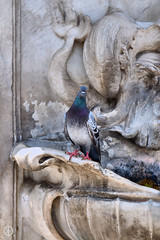 Are You Looking at Me?? (kristianoosterveen) Tags: old italy bird pigeon pisa tuscany toscana toscane fontain tus