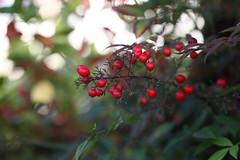 Nandina domestica (eyawlk60) Tags: winter red colour tree beautiful canon eos 5d 冬 植物 南天 nandinadomestica heavenlybamboo ナンテン 友呂岐緑地