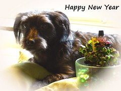 Happy New Year (BrigitteE1) Tags: dog buddy hund mojo bestfriend mojos happynewyear schornsteinfeger glcksklee glcksbringer luckycharm chimneysweep goodluckcharm kleeblatt cloverleaf luckyclover signofgoodluck yorkeshiremix buddylein hny2016