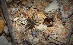 litter spider (dustaway) Tags: arthropoda arachnida araneae araneomorphae miturgidae genus australianspiders darlingtonrange sequeensland queensland nature australia spinne nuliodon