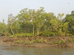mangroves (juggadery) Tags: india bengal westbengal 2015 sundarbans