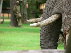 The Elephant at Our Tent ! (Mara 1) Tags: africa kenya masai mara wildlife animal elephant face tusks outdoors trees trunk