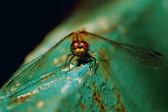 (zool18) Tags: macro nature insect canon animal amazing awesome autumn home dragonfly green good mark2 travels life picture flickr 7d ukraine color outdoor