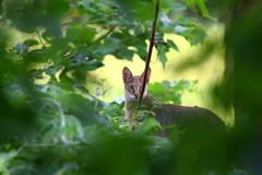 wildCat (balsoumyabal) Tags: cat wildcat nature wildlife facetoface animal eyes canon kerala