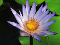 purple lily (oneroadlucky) Tags: nature plant flower purple waterlily lotus