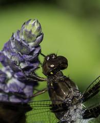 DragonFly_SAF7830-1 (sara97) Tags: dragonfly flyinginsect insect missouri mosquitohawk nature odonata outdoors photobysaraannefinke predator saintlouis towergrovepark copyright2016saraannefinke