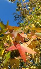 Autumn is back :-) (Londrina92) Tags: autumn autunno fall foliage leaves foglie sky sunny blue maple acero rosso red colors yellow giallo outdoor nature plant tree albero natura