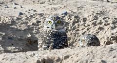 See Anything??? -- Burrowing Owls (Athene cunicularia); Los Lunas, NM [Lou Feltz] (deserttoad) Tags: nature newmexico bird wildbird wildlife raptor owl desert behavior migration