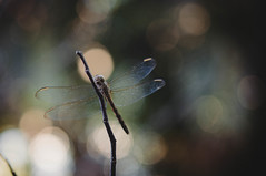 ()**sarah**() Tags: dragonfly reverence