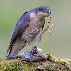 Sparrowhawk (peterspencer49) Tags: peterspencer peterspencer49 hawk falcon raptor birdofprey bird uk scotland sparrowhawk