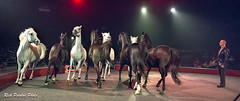 Eight-Horses At Liberty Directed By Klaus-Dieter (Partridge Road) Tags: circo hermanos vazquez chicago illinois circus horse liberty act klausdieter