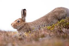 Having a Stretch (kfjmiller) Tags: mountainhare hare scotland highlands tamron tamron150600mm wildlife nature outdoors animal heather moor nikond610 karenmiller stretching relaxing