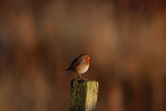 Robin (markstrachan1) Tags: robin wildlife bird small outdoor colour