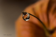 Waterdrop meets Physalis (Melanie Martinu) Tags: nature natur 100mm 100mmmacro canon7d canon macrophotography macro colors farbe orange herbst autumn physalis wassertropfen waterdrop water wasser