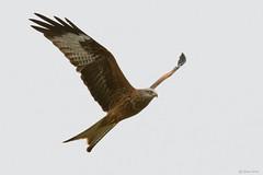 Red kite (Shane Jones) Tags: redkite kite raptor birdofprey birdinflight bird wildlife nature nikon d500 200400vr tc14eii