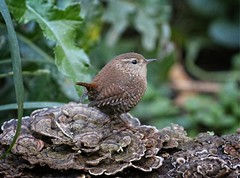 Winter wren (Goggla) Tags: nyc new york east village tompkins square park urban wildlife bird winter wren winterwren cute goglog