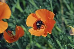 Busy Bee! (maginoz1) Tags: flower flora abstract art manipulate bee orange spring october 2016 auckland newzealand canon g3x