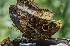 Butterfly (6) (hajavitolak) Tags: a7 csc captureone evil fullframe fx ilce7m2 milc mirrorless sinespejo sony sonya7ii sonya7m2 emount macro mariposa butterfly verde green naturaleza nature bokeh color tamron tamron9028 tamron9028dimacro