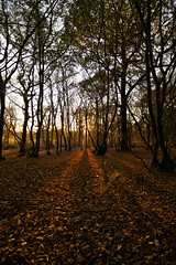 Last Light (Future-Echoes) Tags: 4star 2011 autumn essex light shadows tokina tokina1116mmf28 trees wickhambishops woodland