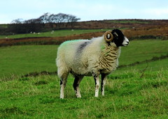 You can't pull the wool over my eyes. (jdathebowler Thanks for 965,000+ views.) Tags: autofocus sheep hornedsheep coth coth5 thebeautyofnature fantasticnature