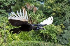 (JOAO DE BARROS) Tags: fly bird animal zoo joo barros wings