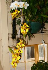 Cyrtochilum macranthum #1 species orchid, 1st bloom of this plant  9-16 (nolehace) Tags: cyrtochilum macranthum 1 species orchid 916 1st summer nolehace sanfrancisco fz1000 flower plant bloom