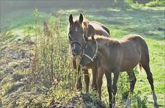 """20aaaol-paard.arabier.m.veulen.backlight-23-10-16-vlietw-leiden-(n.D5100-t.150-600vc) (""""HansFfloraFauna"""") Tags: horse arabier nikon d5100 hengstveulen 1 year old colt foal"""