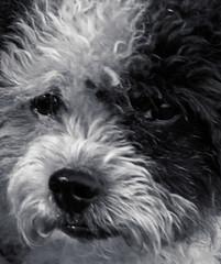 Portrait Lucky (fredy_egdorf) Tags: hund lucky portrait 2016 nikon d750 pscc2015 monochrome tonality db luminanzmaske sigma lens