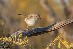Redthroat (Pyrrholaemus brunneus) (BenParkhurst) Tags: pyrrholaemusbrunneus hamelinstation westernaustralia wa redthroat reserve bird perched 2016 outdoor fauna benparkhurst green outback