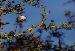 Long Tailed Tit (aliboo2011) Tags: northcavewetlands yorkshirewildlifetrust eastyorkshire